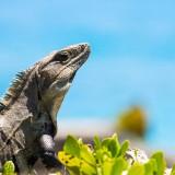 Alt- Iguana