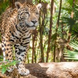 Alt- Jaguar